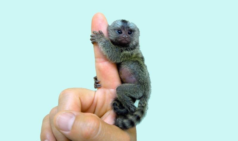 Le-ouistiti-pygmée-le-plus-petit-singe-au-monde